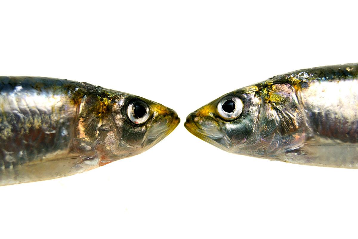 Sardinas-elfotogastro-fotografia-de-comida